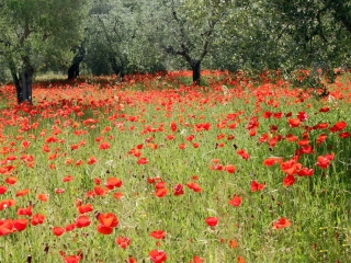 Poppies near Montisi