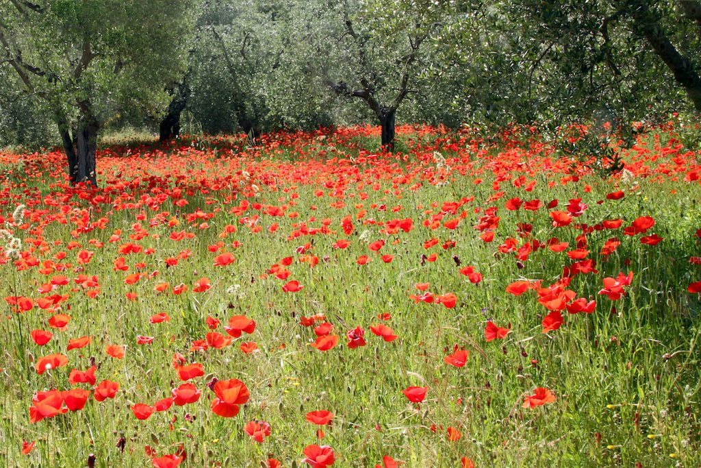 Poppies near Montisi